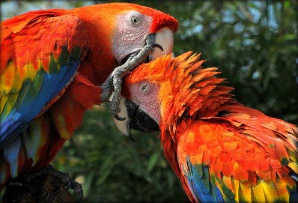 Pássaros exóticos brasileiros: fotos e características