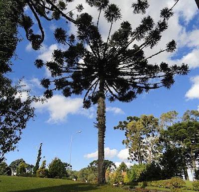 Araucaria angustifolia Kuntese. (Foto: Reprodução)