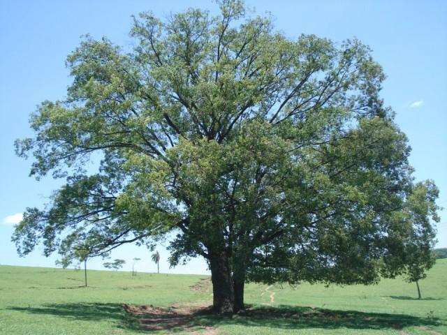 Bowdickia nitida Spruce ex Benth. (Foto: Reprodução)