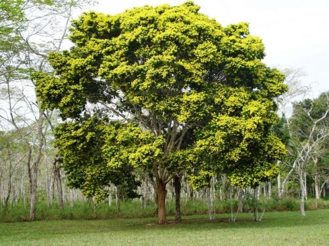 Caesalpina echinata Lam. (Foto: Reprodução)