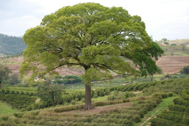 Cariniana ianeirensis Kunth. (Foto: Reprodução)