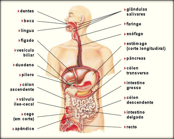 Sistema digestivo: função, doenças, sintomas e tratamentos.
