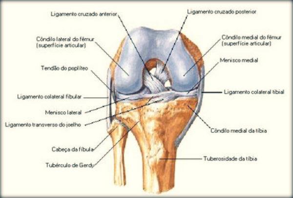 Músculos movimento joelho