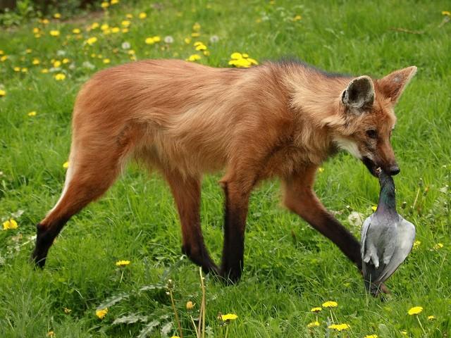 animais em extinÇÃo cerrado fiapo de jaca