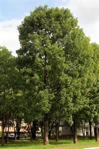 Swietenia macrophylla King. (Foto: Reprodução)